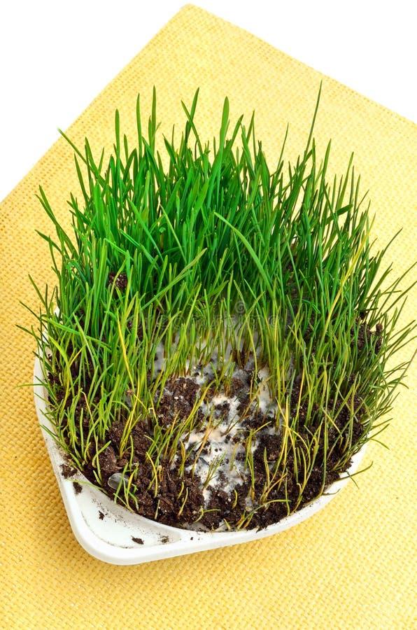 Herbe verte de blé avec le mustiness d'isolement photographie stock