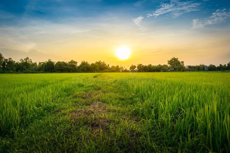 Herbe verte de gisement de riz d'Addy sur le beau ciel photographie stock libre de droits