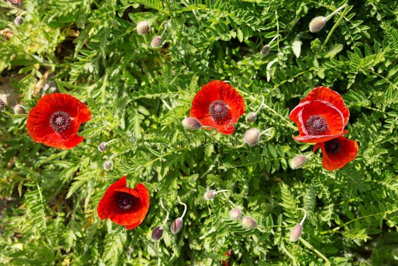 Herbe verte de pavots rouges photo stock