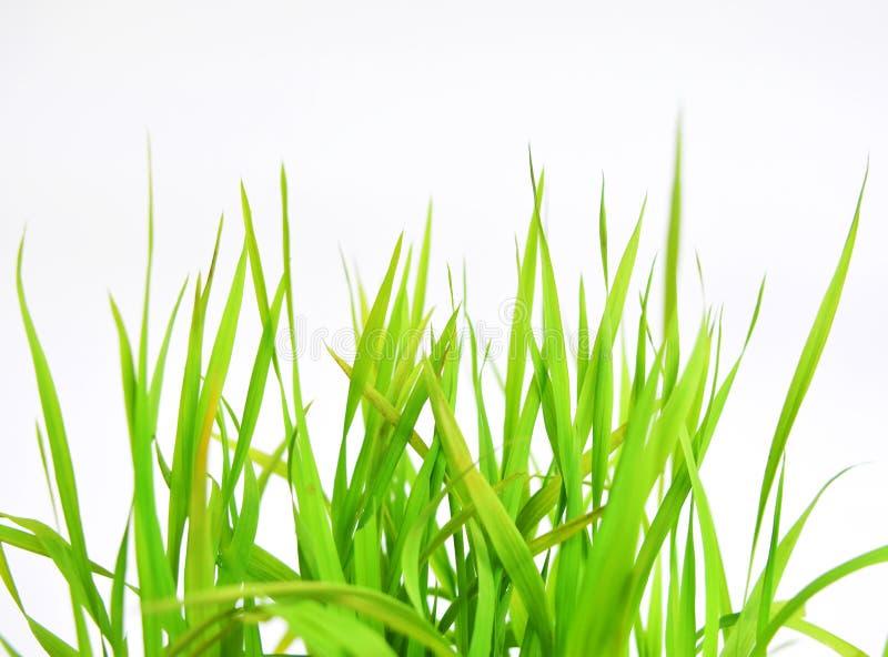 Herbe verte de ressort d'isolement sur le fond blanc photo libre de droits