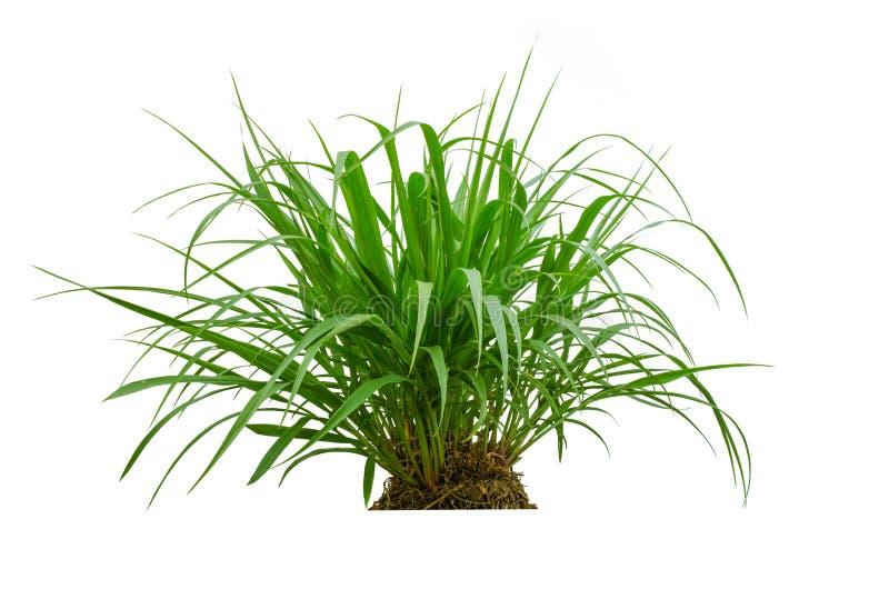 Herbe verte de ressort frais d'isolement sur le fond blanc. image stock