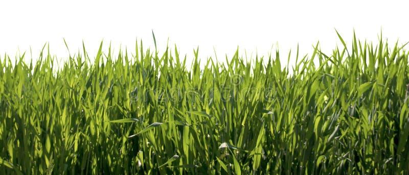 Herbe verte de source fraîche d'isolement photographie stock