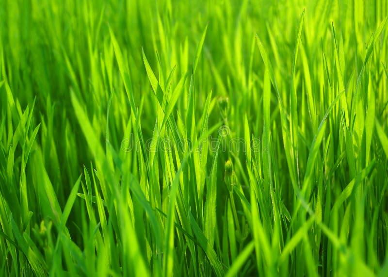 Herbe verte de source fraîche. Fond normal d'herbe images stock