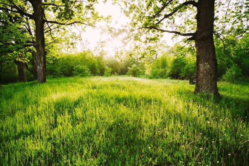 Herbe verte de Sunny Deciduous Forest Trees And d'été La nature, courtisent image stock