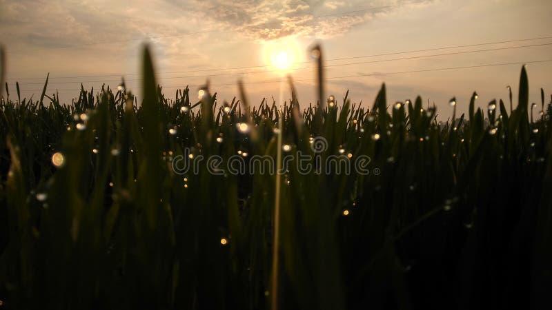 Herbe verte de vibraphone de Natuars avec la rosée et l'agriculture de baisse de l'eau du matin de coucher du soleil de lever de  photos libres de droits