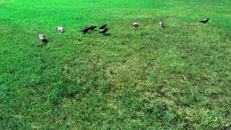 herbe verte et plusieurs pigeons photo stock
