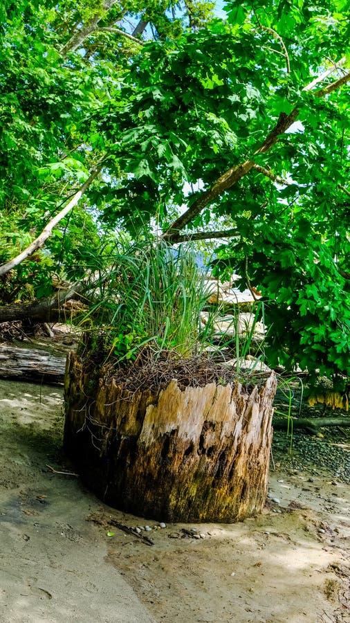 Herbe verte et usines s'élevant sur un tronc d'arbre mort obtenant les éléments nutritifs nécessaires de la décomposition de l'ar image libre de droits