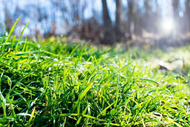 Herbe verte humide grandissant avec des baisses de rosée Lumière du soleil de matin photo libre de droits