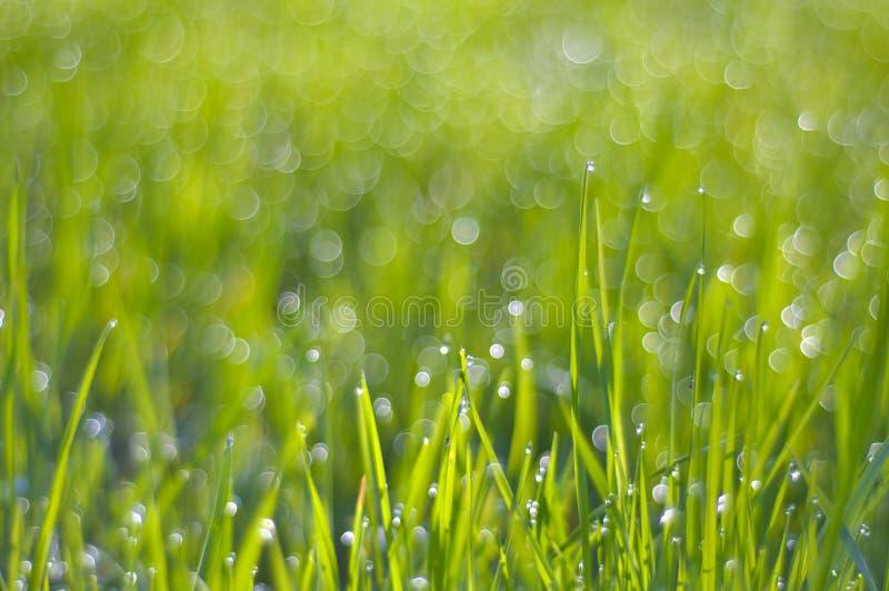 Herbe verte riche dans les gouttelettes de la rosée dans la lumière du soleil de matin images libres de droits