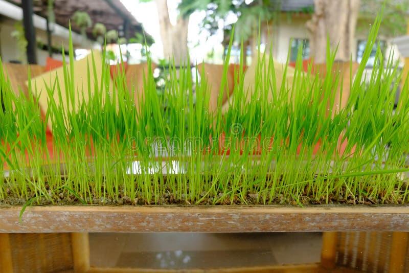 Herbe verte s'élevant dans un pot fait à partir du bambou photo libre de droits