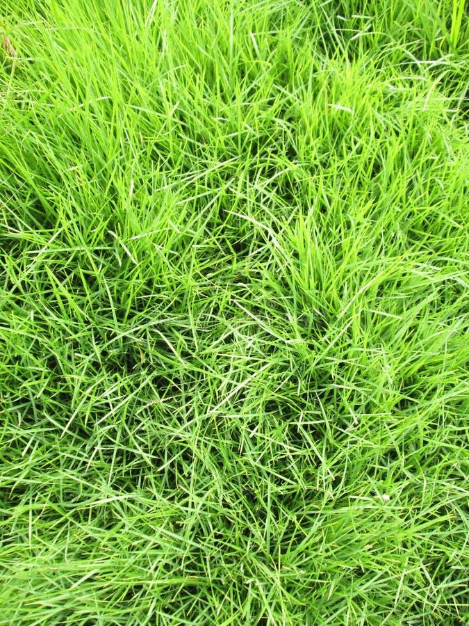 Herbe verte - vrai fond d'herbe verte photographie stock