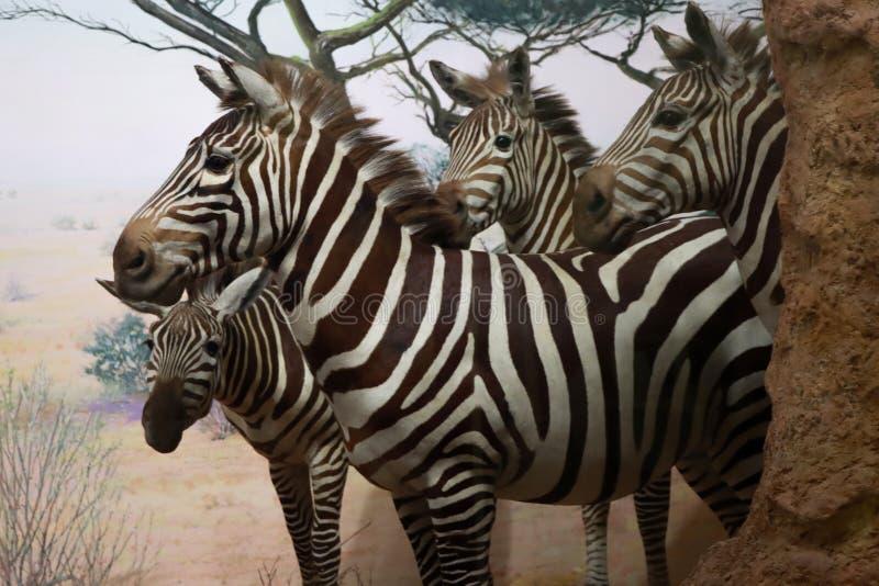 Herbe Zebra photographie stock libre de droits