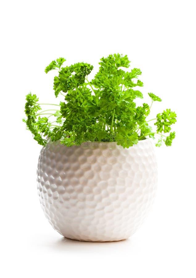 Herbes bouclées de persil dans le pot d'isolement sur le fond blanc photo libre de droits