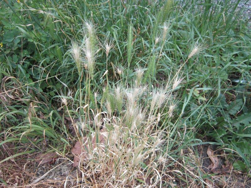 Herbes brun clair sur le chemin photo libre de droits