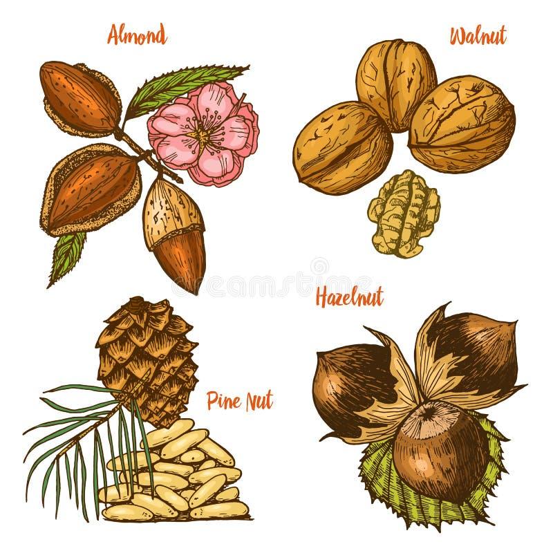 Herbes, condiments et épices amande et noix, pignon et noisette, graines pour le menu Usines ou végétarien organiques illustration de vecteur