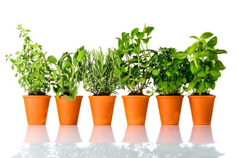Herbes culinaires fraîches s'élevant dans des pots sur le fond blanc photos stock