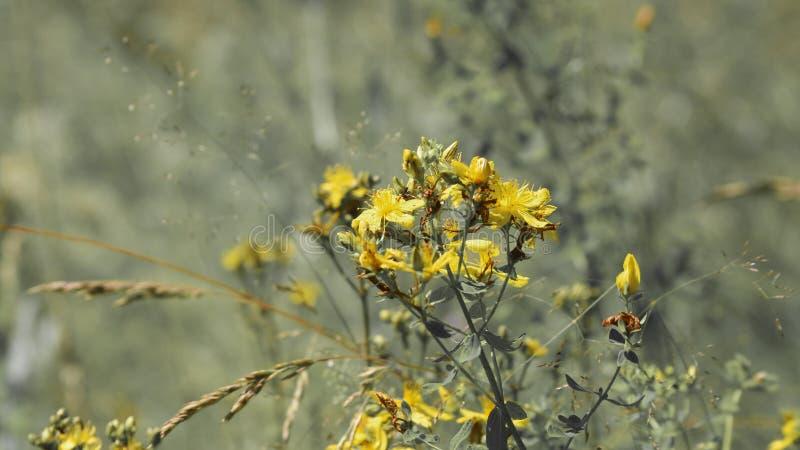 Herbes curatives images libres de droits