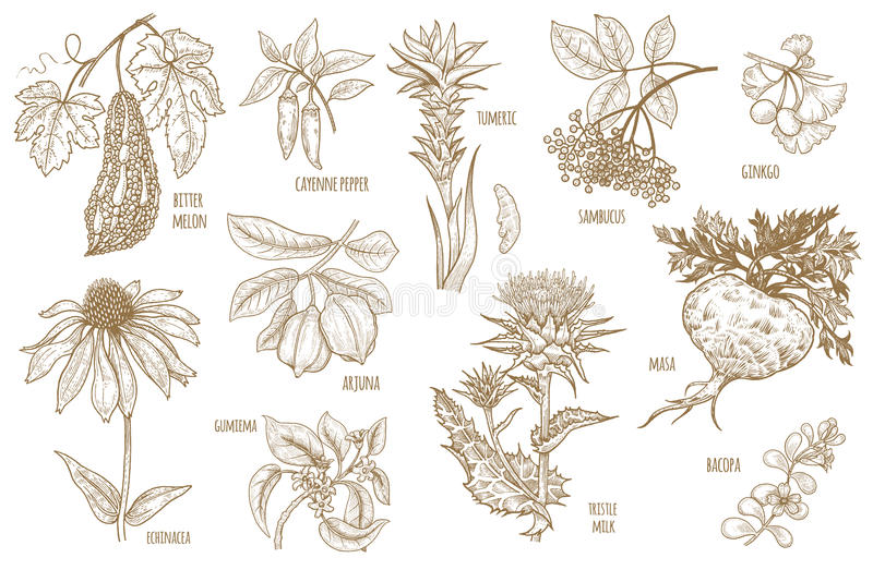 Herbes d'Ayurvedic d'illustration de vecteur illustration stock