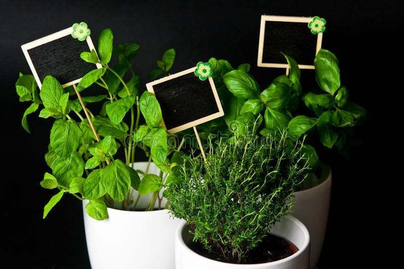 Herbes dans le pot blanc sur le fond noir Basil, thym et menthe photo stock