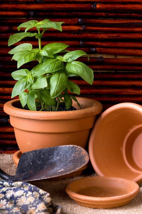 Herbes de basilic dans le bac de terre cuite image stock