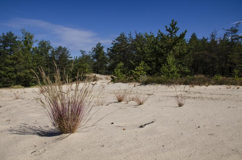 Herbes de Bush s'élevant sur les sables blancs du désert à côté de la forêt de pin à l'arrière-plan d'un ciel bleu image stock
