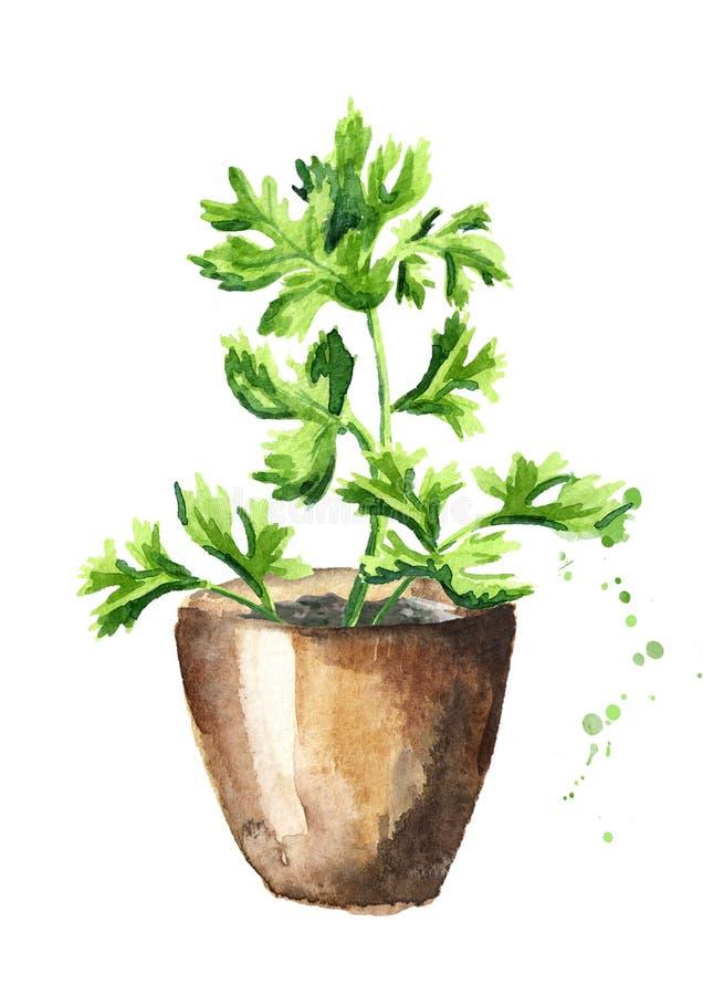 Herbes de cuisine dans pots Usine de Cilantro Illustration tirée par la main d'aquarelle, d'isolement sur le fond blanc illustration stock