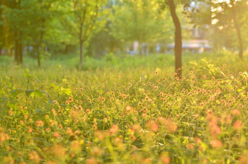 Herbes de floraison, arbres brouillés, lumière arrière photos stock