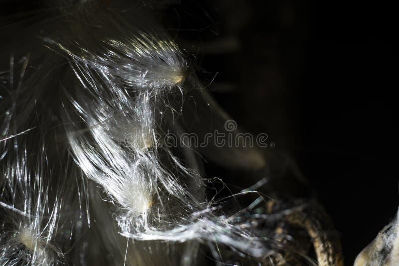 Herbes de Milkweed de filaments de fleur photographie stock