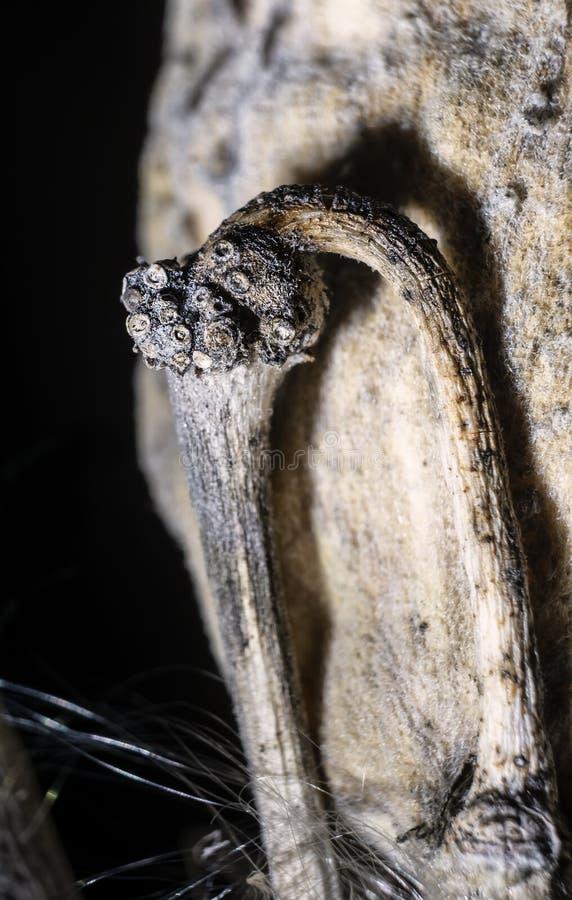 Herbes de Milkweed de structure de filaments photographie stock