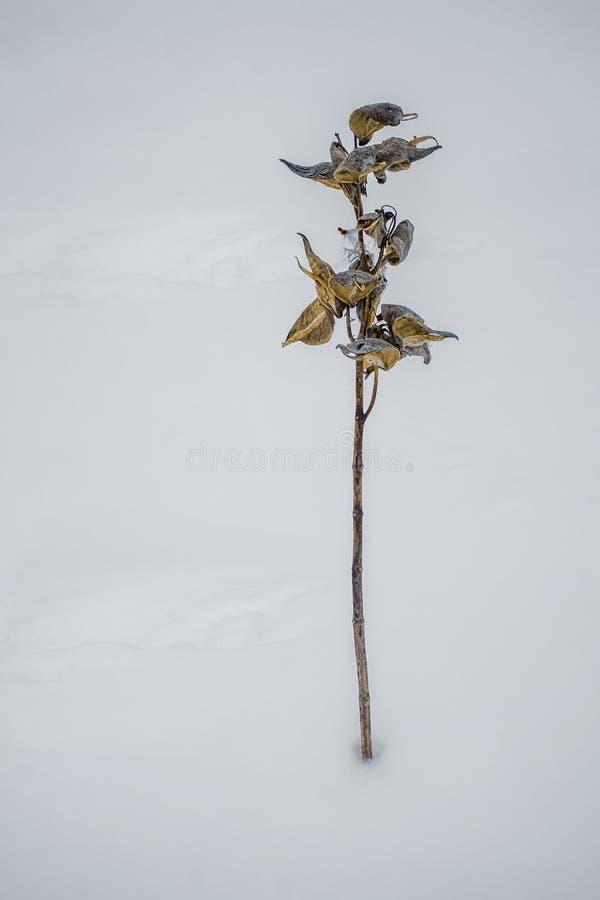 Herbes de Milkweed sur la neige photo stock