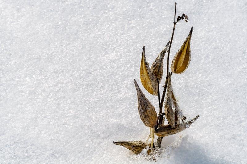 Herbes de Milkweed sur la neige images libres de droits
