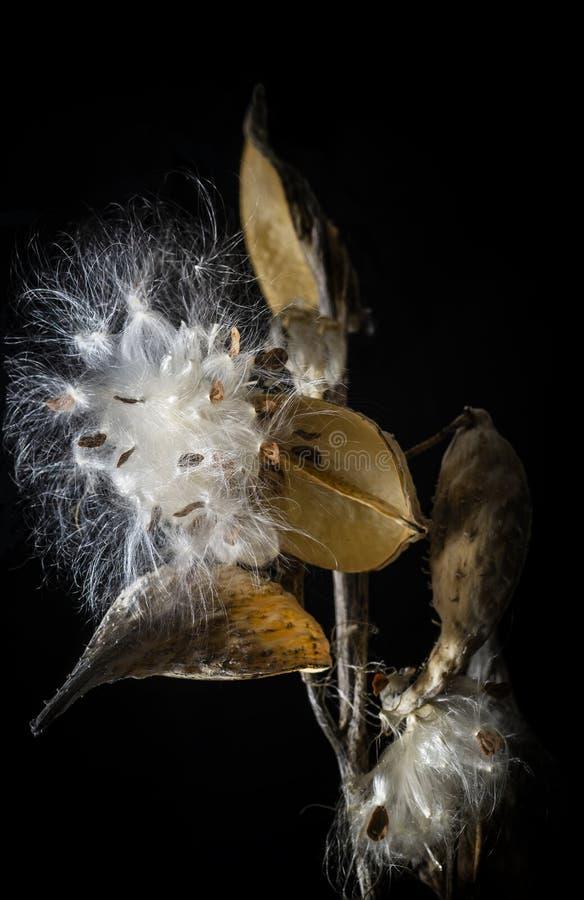 Herbes de Milkweed sur le fond noir photo stock