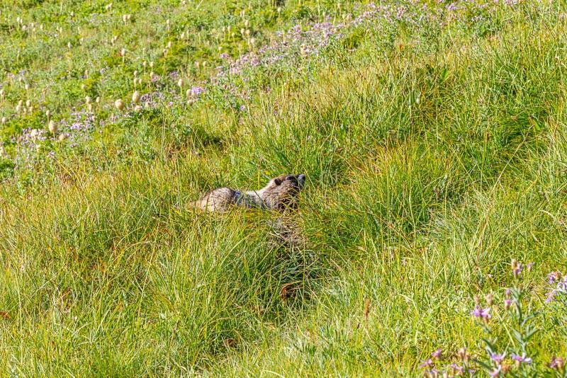 herbes de pré alpines avec une grande marmotte photos libres de droits