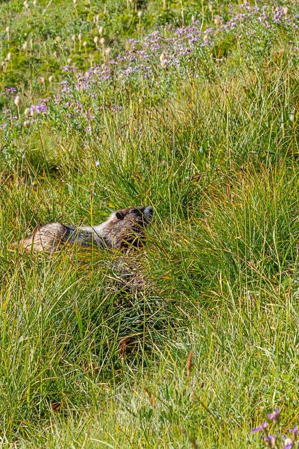herbes de pré alpines avec une grande marmotte image stock