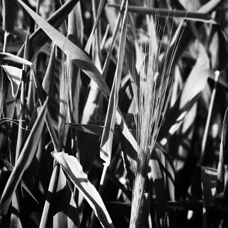 Herbes en noir et blanc photos libres de droits