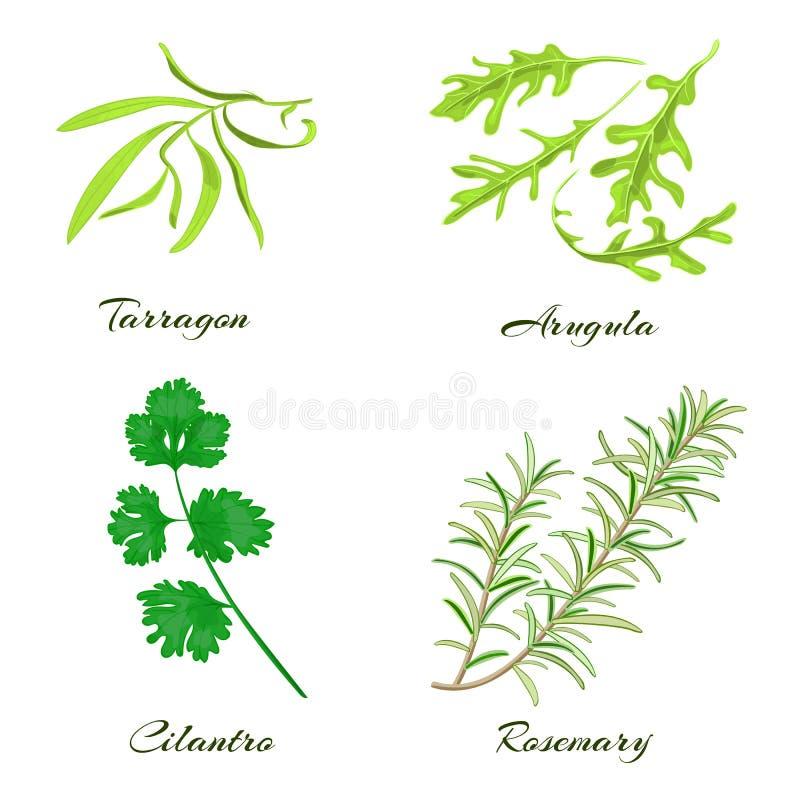 herbes Estragon, arugula, cilantro ou coriandre, romarin illustration de vecteur