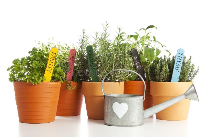 Herbes et bidon d'arrosage mis en pot photo stock