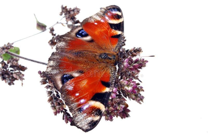 Herbes et papillon en bon état de pulegium de mentha photo stock