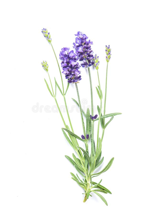 Herbes fraîches de fond blanc d'isolement par fleur de lavande photographie stock libre de droits