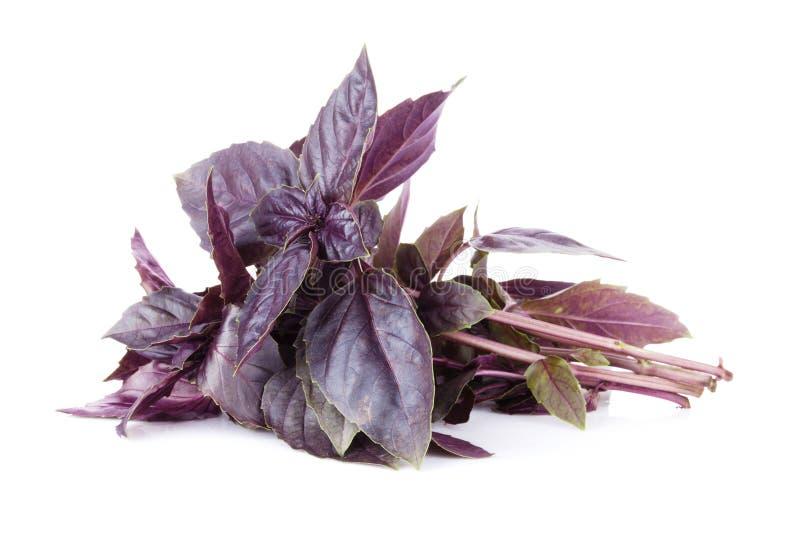 Herbes fraîches de jardin Basilic pourpré photographie stock libre de droits