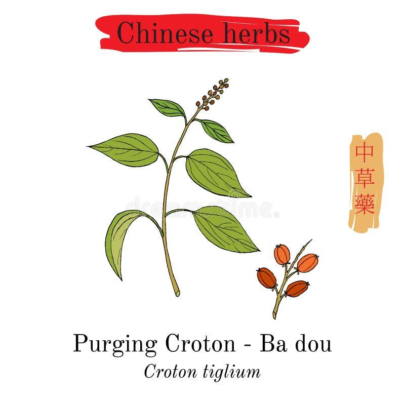 Herbes médicinales de la Chine Purge du Croton illustration libre de droits