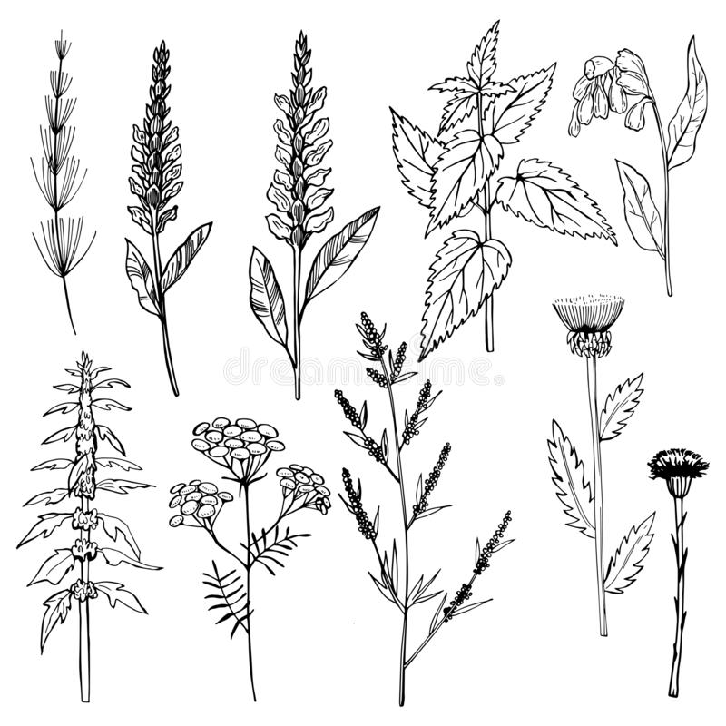 herbes médicinales Illustration de vecteur illustration libre de droits