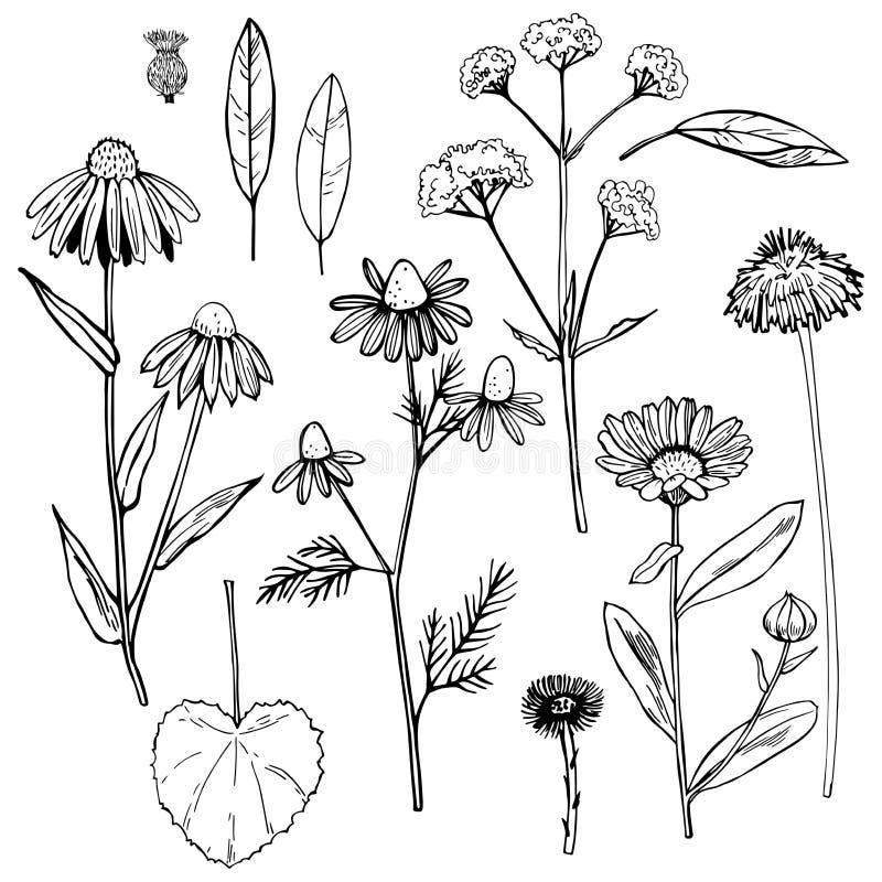 Herbes médicinales tirées par la main Illustration de vecteur illustration stock
