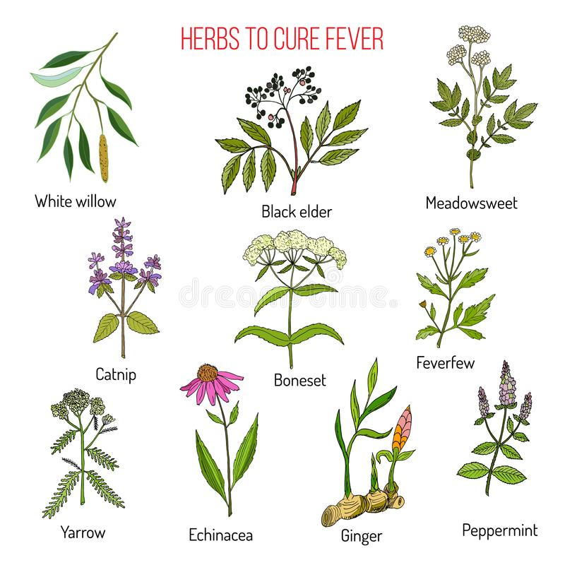 Herbes pour le traitement de fièvre illustration stock