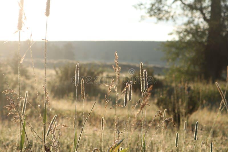 Herbes rétro-éclairées dans le Tetons grand images stock