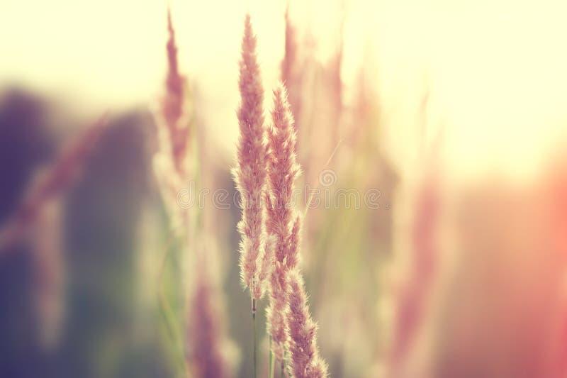 Herbes sauvages dans un fiekd au coucher du soleil photo stock