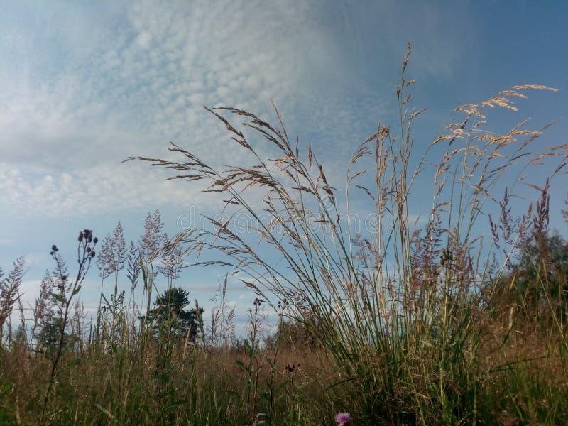 Herbes sauvages de Nord Transitoires sur le fond de ciel Russie images stock