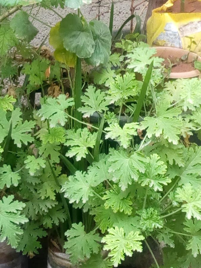 herbs imagens de stock royalty free