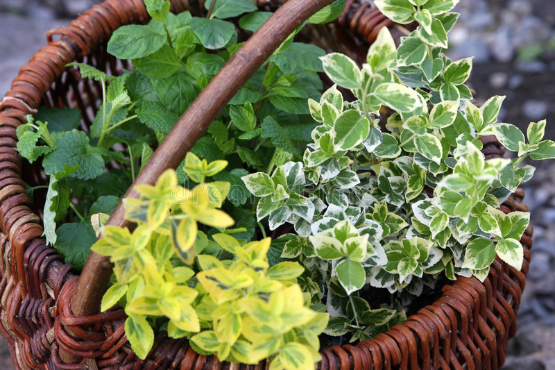 Herbs in basket stock image