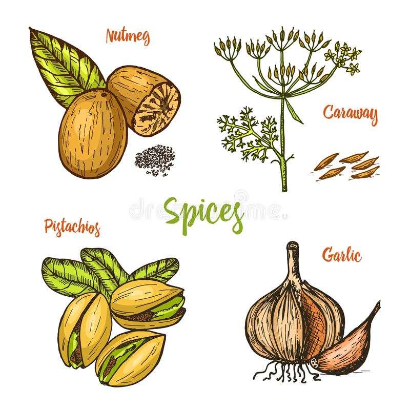 Herbs, condiments and spices. nutmeg and pistachios and garlic, caraway and seeds for the menu. Organic plants or stock illustration